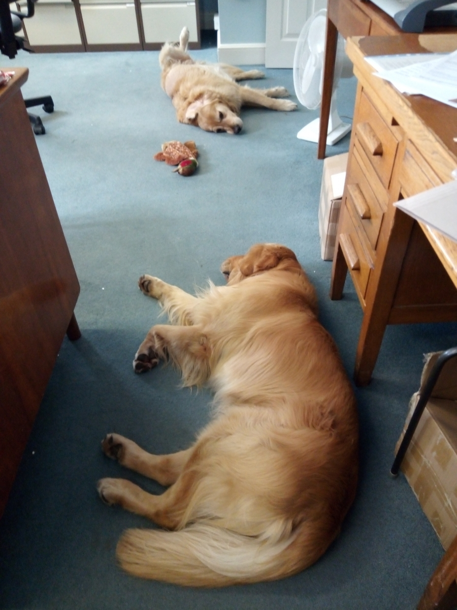 The two office dogs, Bailey and Inca